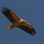 sterveatnik-vulture